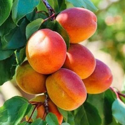 "Саженец абрикоса ""Хачалаба"""