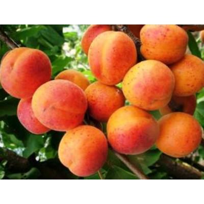 """Саженец абрикоса """"Надежда"""""""