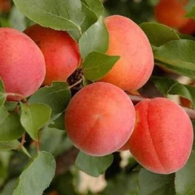 """Саженец абрикоса """"Робада"""""""