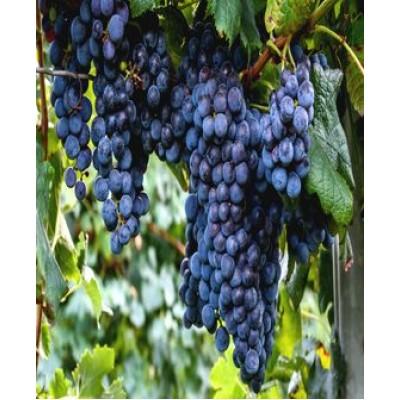 """Саженец винограда """"Изабелла"""""""