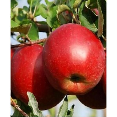 "Саженец яблони  ""Джонаголд Моренс"""